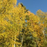 Yellow birch leaves on trees